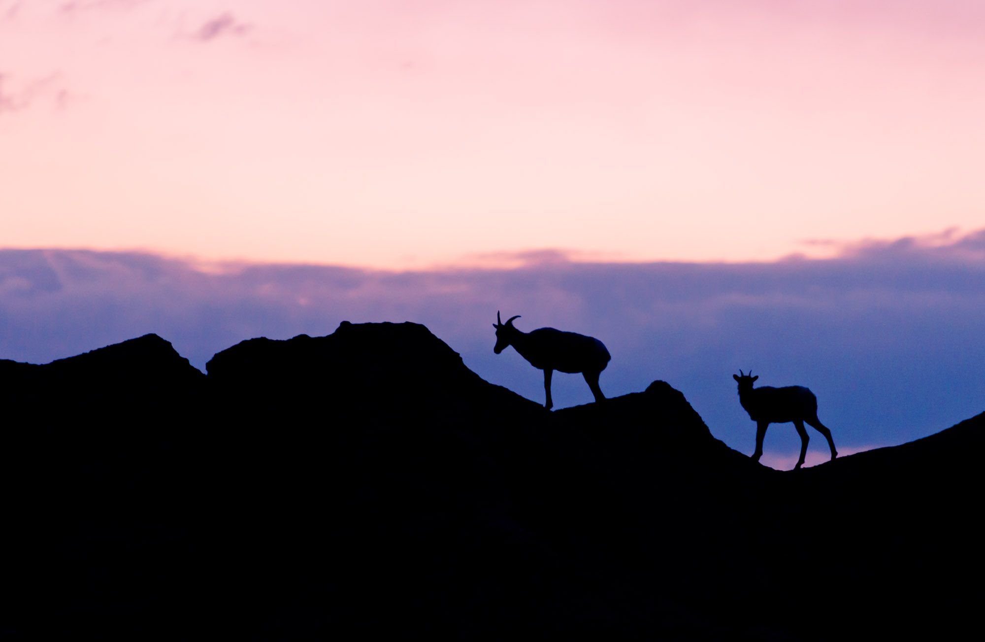 Bighorn Sheep silhouetted at dusk - Badlands National Park, South Dakota