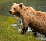 Coastal Brown Bear in a watery environment - Lake Clark National Park, Alaska
