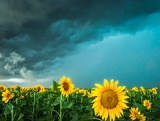 Sunflowers under approaching storm - Alice, Texas