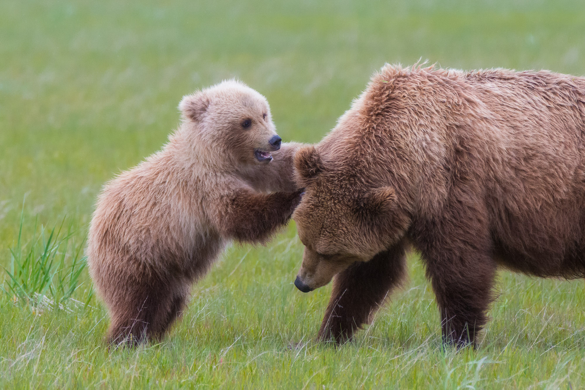Bear cub playing with its mother - Lake Clark National Park, Alaska