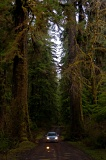 Car dwarfed by huge trees - Olympic National Park, Washington