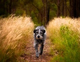 Dog on path - Bairnsdale, Victoria, Australia