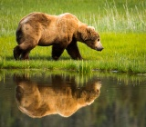 Coastal Brown Bear and its reflection - Lake Clark National Park, Alaska