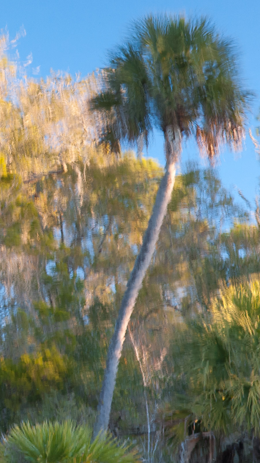Cabbage Palm reflected in pond - Lower Suwannee National Wildlife Refuge, Florida