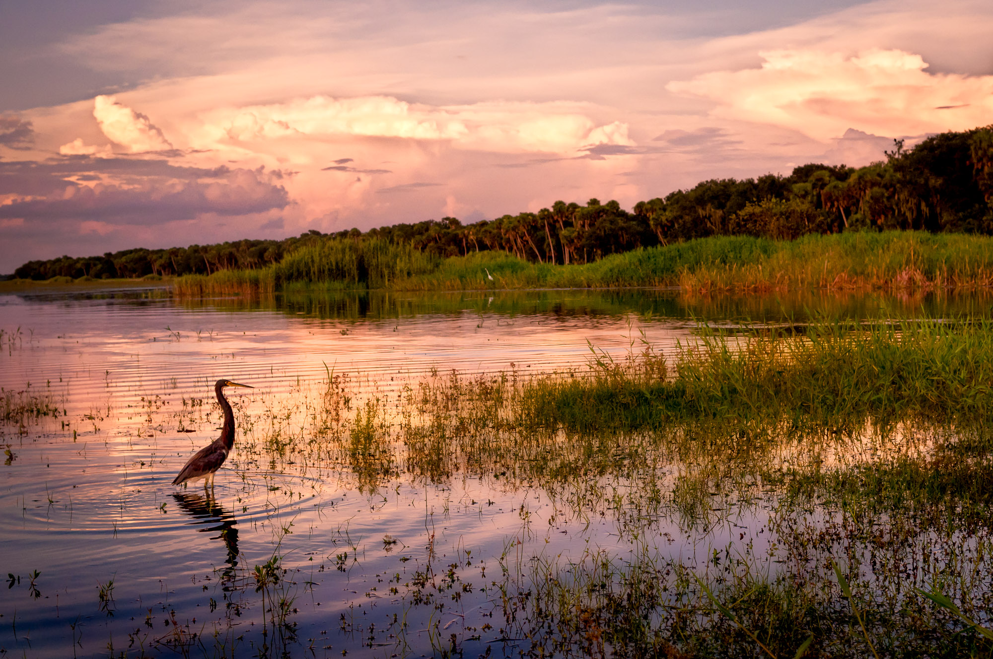 Sunset-lit storm clouds and Tricolored Heron fishing - Myakka River State Park, Florida